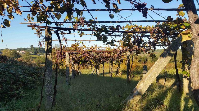 10-Vineyard